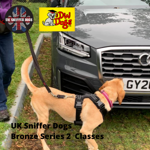 UK Sniffer Dogs Bronze 2 Sniffer Dog classes Brown dog sniffing car on lead with handler