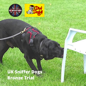 UK Sniffer Dogs Bronze Trial black Labrador Blake sniffing a chair